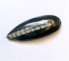 Orthoceras fossil cabochon - 40*15 mm