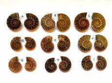 Ammonit fosszília kaboson párban - méretek a leírásban!
